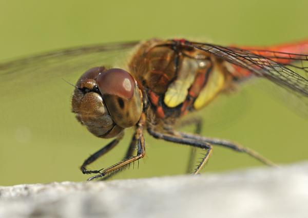 Common Darter Dragonfly (Sympetrum striolatum) male, UK