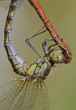 Common Darter Dragonfly (Sympetrum striolatum) female mating, UK