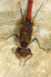 Male Common Darter Dragonfly (Sympetrum striolatum)  UK