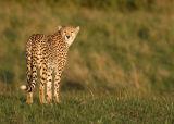 Cheetah (Acinonyx jubatus) looking back