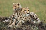 Cheetah (Acinonyx jubatus) mother and cub