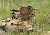 Cheetah (Acinonyx jubatus) with baby Topi kill