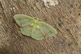 Rhodochlora brunneipalpis