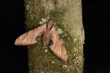 Protambulyx stigilis