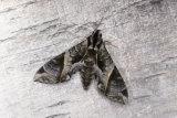 Anchemola Sphinx Moth, Eumorpha anchemolus