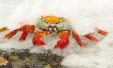 Sally Lightfoot Crab (Grapsus grapsus) Galapagos Islands