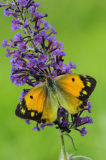 Clouded Yellow feeding on buddleia