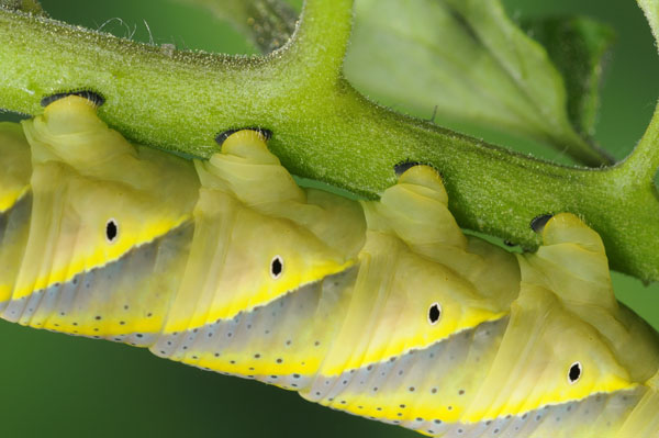 Caterpillar of The Death's Head Hawkmoth