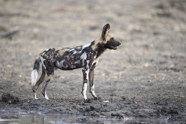 Wild Dog staring intently (at nearby Lions)