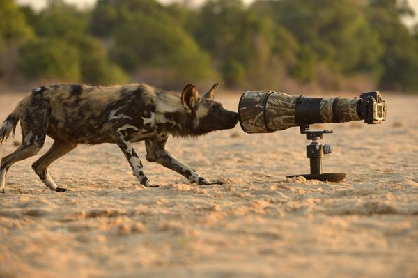 Wild Dog takes a selfie.