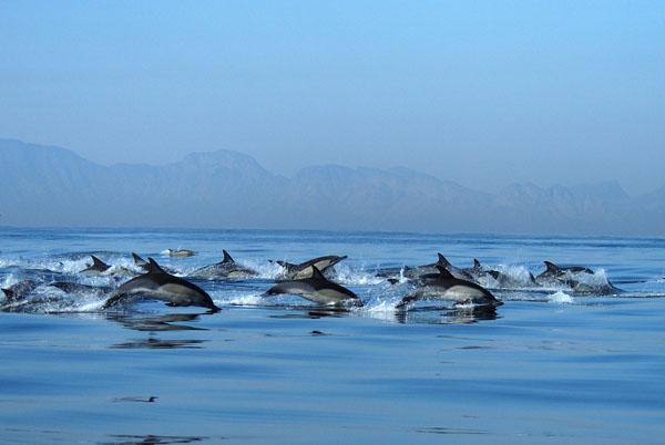 Common Dolphins (Delphinus delphinus) swimming in False Bay, Cape Town