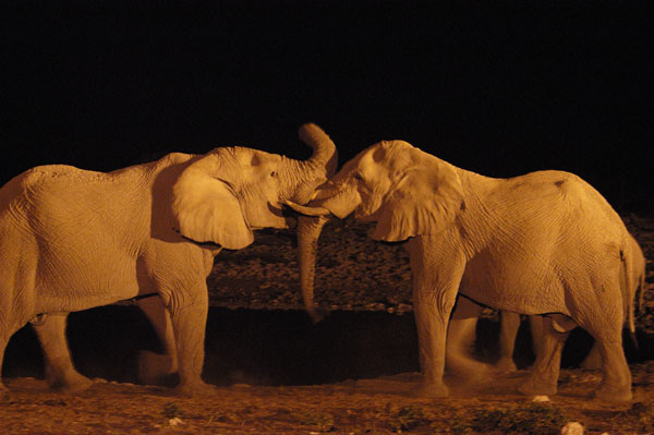 African Elephants (Loxodonta africana) greeting each other at night