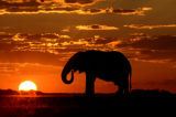 African Elephant (Loxodonta africana) drinking at sunset, Botswana