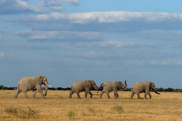African Elephants (Loxodonta africana) in Botswana