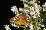 Male Emperor Moth