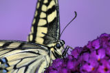 European Swallowtail Butterfly feeding on buddleia