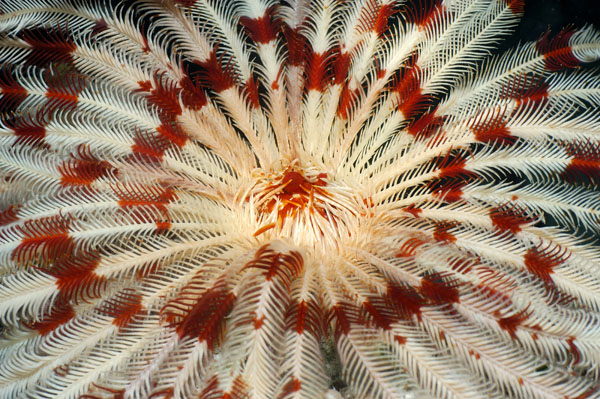 Feather Star, The Maldives