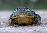Giant Bullfrog (Pyxicephalus adspersa), Namibia