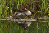 Great Crested Grebe (Podiceps cristatus) sitting on its nest