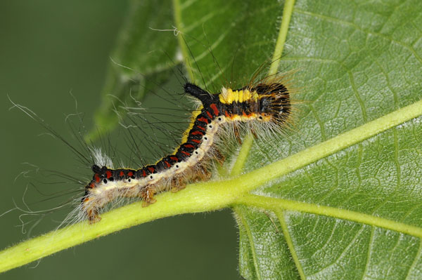 Caterpillar of The Grey Dagger Moth