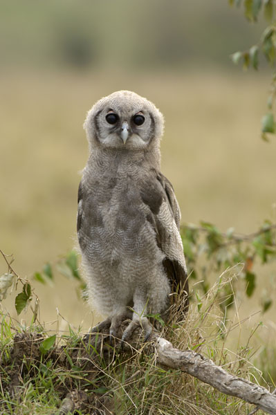 Giant Eagle Owl chick (Bubo lacteus). Also known as Verreaux's or Milky Eagle Owl