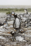 Gentoo Penguins (Pygoscelis papua) covered in snow, The Falkland Islands