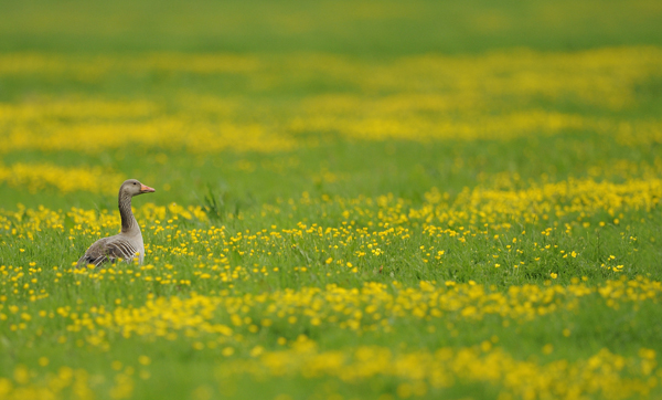 Greylag Goose (Anser anser) in field of buttercups, Holland