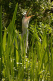 Grey Heron (Ardea cinerea) calling