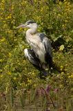 Grey Heron (Ardea cinerea) sunbathing