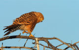 Greater or White-eyed Kestrel ( Falco rupicoloides) Namibia