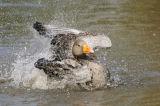 Greylag Goose (Anser anser) bathing, UK