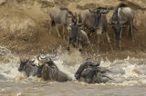 Blue Wildebeast (Connochaetes taurinus) crossing The Mara River, Kenya