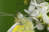 Green-veined White feeding on mustard flower nectar