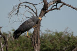 Gymnogene or African Harrier-hawk (Polyboroides typus) searching for food amongst the trees, Namibia