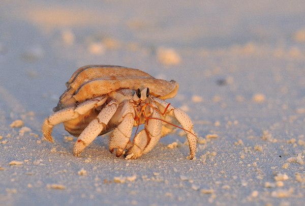 Hermit Crab, The Maldives