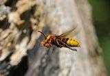 European Hornet (Vespa crabro) in flight, UK