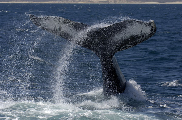 Humpback Whale beating its tail fluke against the water