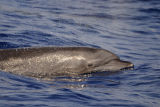 Indo-Pacific Bottlenose Dolphin (Tursiops aduncus) Maldives