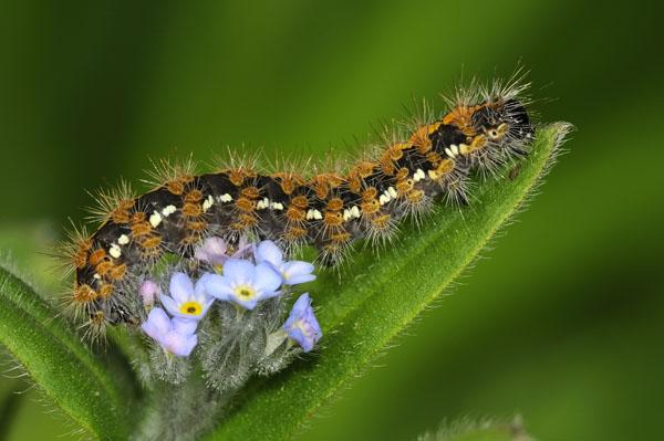 Caterpillar of The Jersey Tiger Moth