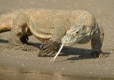 Komodo Dragons (Varanus komodoensis)
