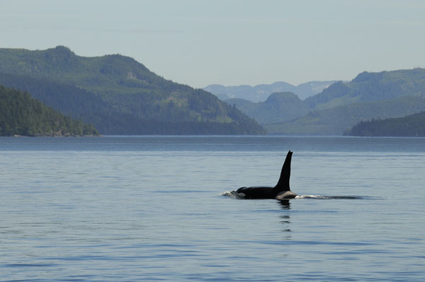 A Killer Whale patrols the waters around Vancouver Island