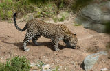 Male Leopard (Panthera pardus) Kenya