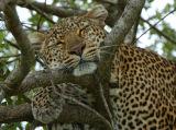 Sleeping Leopard (Panthera pardus) Kenya