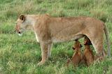 Lioness (Panthera leo) feeding cubs, Kenya