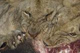 Lions (Panthera leo) feeding, Kenya