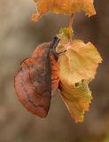 European Lappet Moth
