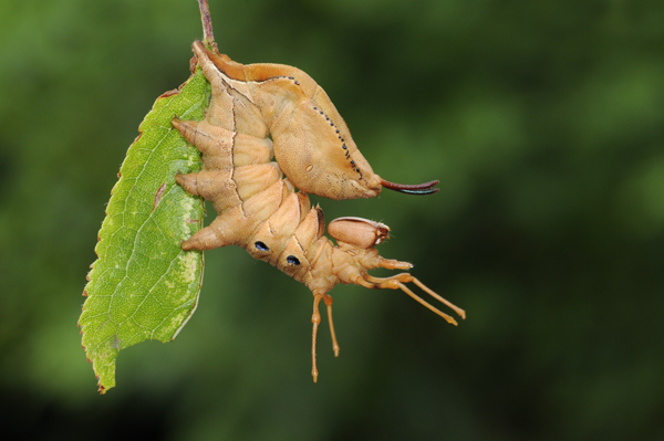 Caterpillar of The Lobster Moth