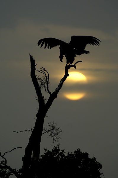 Lappet-faced or Nubian Vulture (Torgos tracheliotos) at sunset, Kenya