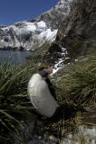 Macaroni Penguin (Eudyptes chrysolophus) South Georgia, Southern Ocean