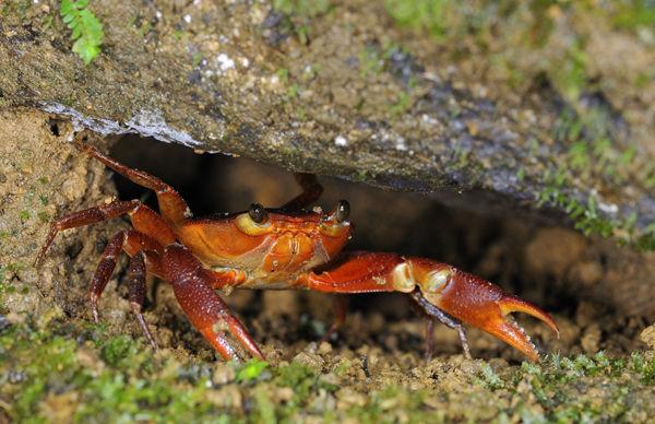 Mountain Crab (Pseudotelphusa garmani) Trinidad